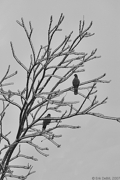 Whitewing doves, frozen branches
