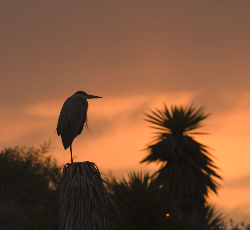 Heron watching the sun set